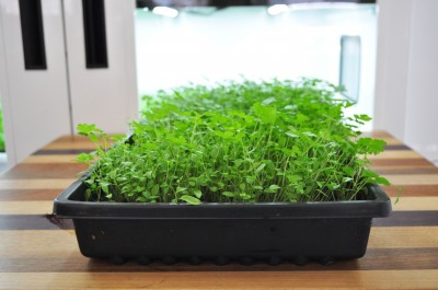 Parsley-ready-to-harvest-day-23-4-400x265