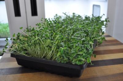 Radish-ready-to-harvest-day-5-400x266