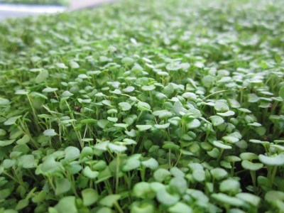 Thyme-ready-to-harvest-day-11-6-400x300