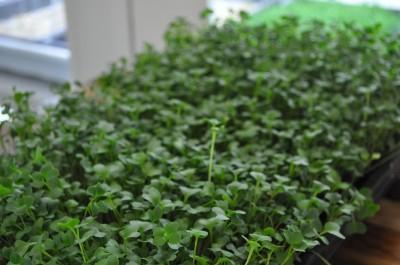 Broccoli-ready-to-harvest-day-9-5-400x265