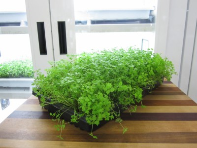 Chervil-ready-to-harvest-day-21-2-400x300