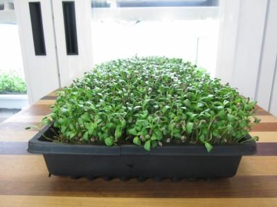Fenugreek-ready-to-harvest-day-11-4-400x300